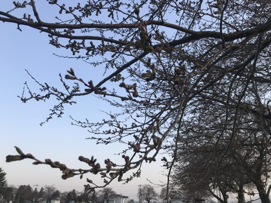 本州ファイナルの桜